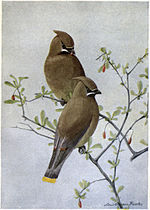 Dandy the Cedar Waxwing.jpg