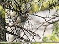 Dark-throated Thrush (Turdus ruficollis) (47098417634).jpg