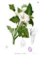 Datura metel Blanco1.34.png