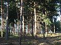 De zon schijnt door de bomen in het Drents Friesewold.JPG