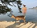 Deer-miyajima-torii-Feb2018.jpg