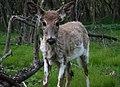 Deer (7004877408).jpg