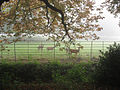 Deer seen from Addison's Walk, Magdalen College, Oxford 2008.jpg
