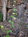 Deeringia amaranthoides young vine.jpg