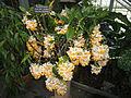 Dendrobium farmeri - United States Botanic Garden - DSC09586.JPG