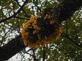 Dendrobium jenkinsii in Manas.jpg