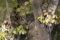 Dendrocopos syriacus - Syrian Woodpecker, Adana 2017-12-10 05-2.jpg