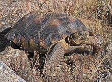 "Sonoran desert tortoise, ""G. morafkai"""