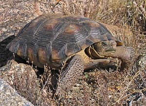Desert tortoise - Sonoran desert tortoise, G. morafkai