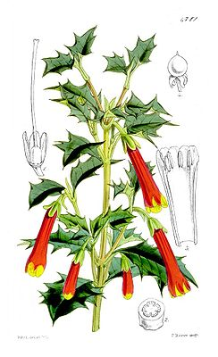 Illustration von Desfontainia spinosa