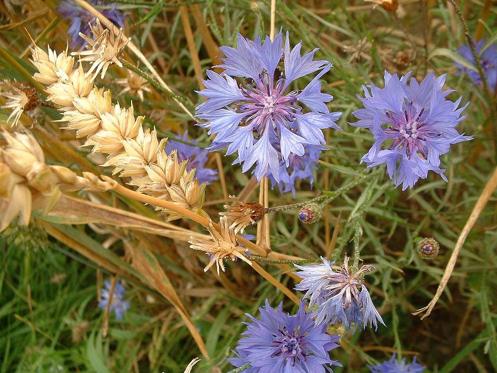 Centaurea cyanus en un campo de trigo.