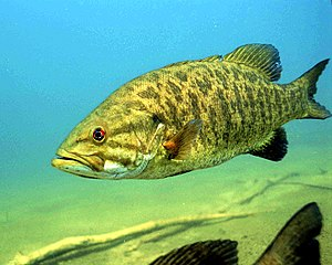 Smallmouth bass - Detailed underwater photo of Smallmouth Bass Micropterus dolomieu.