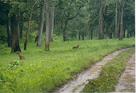 Dhole (asiatic wild dog) at Nagarahole wildlife sanctuary.jpg