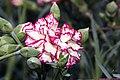 Dianthus caryophyllus Brocade 1zz.jpg