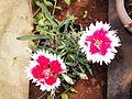 Dianthus chinensis-ALC-1-yercaud-salem-India.JPG