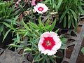 Dianthus chinensis-Anna park-yercaud-salem-India.JPG