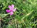 Dianthus deltoides sl28.jpg