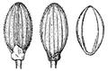 Dichanthelium dichotomum var nitidum (as Panicum nitidum) HC-1935.png