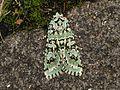 Dichonia aprilina (15423190311).jpg