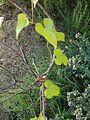 Dioscorea Japonica.JPG