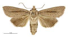 240px dipaustica epiastra female