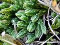 Diphasiastrum alpinum strobili (04).jpg