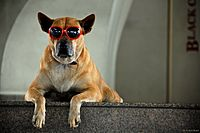 Dog chillin' with red sunglasses (3545177630).jpg