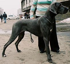 Dog niemiecki czarny 103.jpg