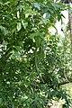 Dolichandrone spathacea 9394.jpg