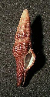 <i>Dolicholatirus</i> genus of molluscs (fossil)