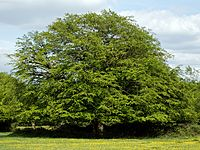 Domed tree in Hatfield Forest Essex England.jpg