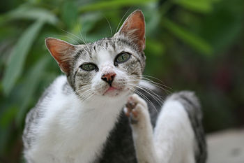 English: A domestic cat, Felis catus itching i...