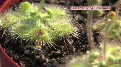 File:Drosera glanduligera catapulting tentacles capturing fruit flies.ogv