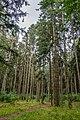 Dubrava Ščomyslickaja natural monument (Belarus) p22.jpg