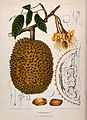 Durian (Durio zibethinus L.); flowering and fruiting branch, Wellcome V0042690.jpg