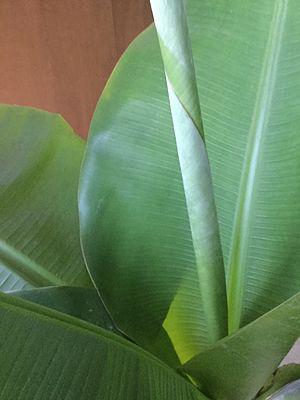 Dwarf Cavendish banana - A 2 year old Dwarf Cavendish Banana Tree