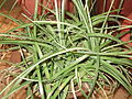 Dychia rariflora-yercaud-salem-India.JPG