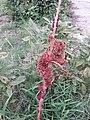 Dying Amaranto elefante rojo elephant amaranth.jpg