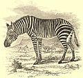 EB1911 Zebra - Equus zebra.jpg