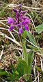 Early Purple Orchid (Orchis mascula) - geograph.org.uk - 831284.jpg