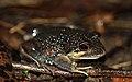 Eastern Banjo Frog (Limnodynastes dumerili) (8579857266).jpg