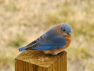 Bluebird - Eastern bluebird (Sialia sialis)