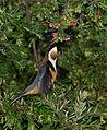 Eastern Spinebill (Acanthorhynchus tenuirostris) (14496536188).jpg