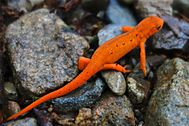 Strikingly red eft on a rocky underground