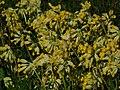 Echte Schlüsselblume-Primula Veris.jpg