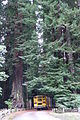 Ecological Bus Project in Redwoods.JPG