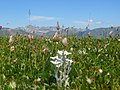 Edelweiss and Marguerais at the end - panoramio.jpg