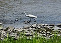 Egretta garzetta 小白鷺 - panoramio.jpg