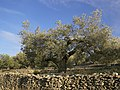 El Perelló - Old olive tree.jpg