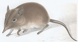 Elephantulus brachyrhynchus Smith 1839.jpg